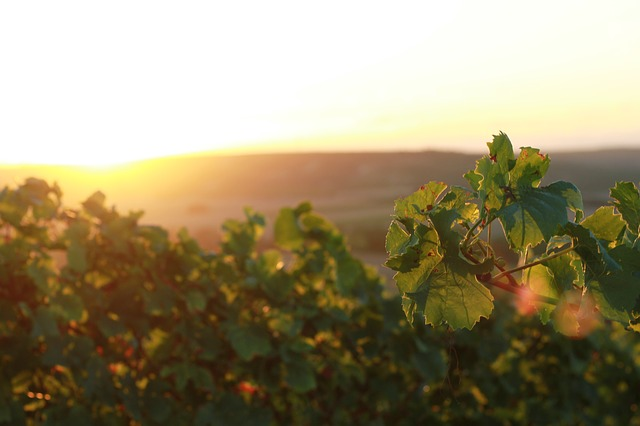 vineyards-2500047_640